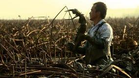 Kinesiska män gräver en lotusblomma rotar ut det är en hög avkastninggrönsak som växer djupt i slammen yunnan Kina royaltyfria foton