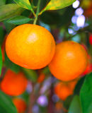 kinesiska mandarinapelsiner Arkivfoton