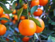 kinesiska mandarinapelsiner Royaltyfri Foto