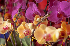 Kinesiska orkidér Arkivbilder