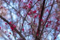Kinesiska plommonblomningar, mot den blåa himlen royaltyfria foton