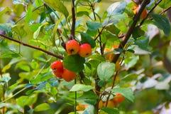 Kinesiska små äpplen royaltyfri foto