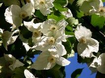 Kinesiskt blommaträd Arkivbild