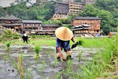 Kinesiskt bondearbetararbete i den risfältet terrasser och växtris kärnar ur royaltyfria foton