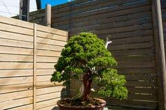 Kinesiskt enbonsaiträd i solig dag i botanisk trädgård Arkivfoto