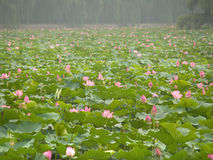 kinesiskt liljavatten royaltyfria foton