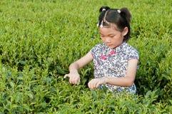 Kinesiskt plocka för flickatea Royaltyfri Bild