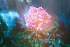 Kinesros som blommar i aftonen Arkivfoto
