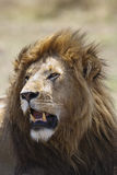 The King. Portrait of a male lion, Maasai Mara National Reserve, Kenya, East Africa stock images