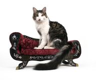 The King. An elegant cat on a small couch Royalty Free Stock Image