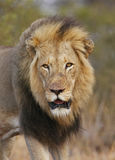 King. Male lion portrait shortly after winning a fight over females Royalty Free Stock Photo