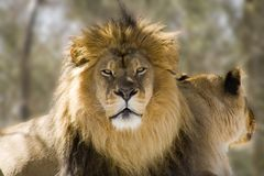 King. Male African lion with lioness Royalty Free Stock Photo