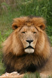 King. Male lion in his full glory Stock Photography