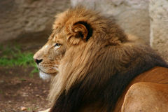 The King. Lion King of the jungle Royalty Free Stock Photo
