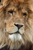King. Lion (Panthera leo) portrait Royalty Free Stock Images
