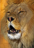 The King. A male Lion about to roar Stock Photo