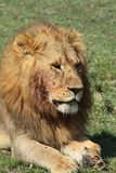 King of Africa Royalty Free Stock Photography