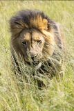 King of Africa. Male lion. Stock Images