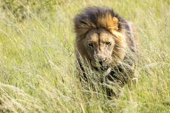 King of Africa. Male lion. Stock Photos