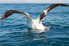 King Albatross taking off Stock Photo