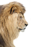 King of all beasts Royalty Free Stock Images