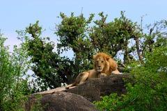 King of all he surveys. Male Lion on rock plateau Stock Image