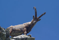 The king of the Alps. Alpine ibex  (Capra ibex) on the rock. The Alpine ibex, also known as steinbock, is a species of wild goat that lives in the Alps at high Stock Photography