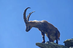 The king of the Alps. Alpine ibex  (Capra ibex) on the rock. The Alpine ibex, also known as steinbock, is a species of wild goat that lives in the Alps at high Royalty Free Stock Photography