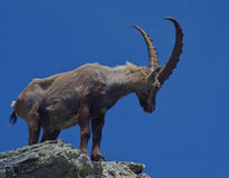 The king of the Alps. Alpine ibex  (Capra ibex) on the rock. The Alpine ibex, also known as steinbock, is a species of wild goat that lives in the Alps at high Stock Photo
