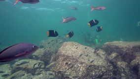 King Angelfish Holacanthus passer and school of oceanic fish in Los Isoletes island Cortez sea La Paz stock footage