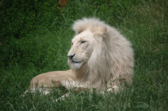 King of animals Royalty Free Stock Image