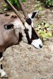 King antelope Royalty Free Stock Images