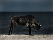 King of the beach. Big black bull stretching on the beach in Sf. Gheorghe, Danube Delta, Romania Stock Images