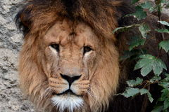 King Of the Beast,the African Lion Stock Image