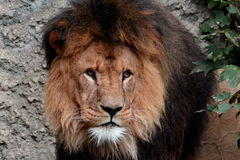 King Of the Beast,the African Lion Stock Images