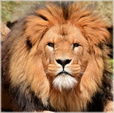 King of the Beast portrait Stock Photography