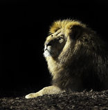 King of the beast's. A lion, trying to look like an angel Stock Photography