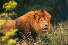 King of Beasts. A lion roams through the grasses -- perhaps in search of food, or maybe his mate Stock Photo