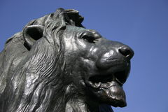 King of the Beasts. One of the Trafalgar Square lions, London royalty free stock images