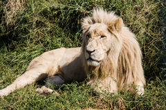 King of beasts. In Kazakhstan Almaty Zoo stock photo