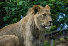 King of the Beasts. The lion sits majestically at the Woodland Park Zoo Stock Photo