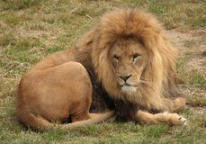 King of the beasts. Majestic male lion rests Royalty Free Stock Photos