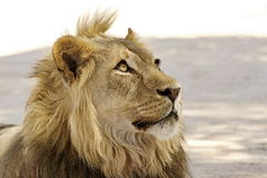The king of beasts Royalty Free Stock Photo