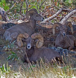 King of the Big Horn Rams Royalty Free Stock Photography