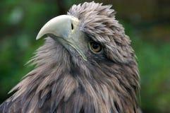 The king-bird. Royalty Free Stock Photo