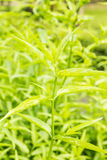 King of Bitter Herb - Andrographis paniculata Royalty Free Stock Photos