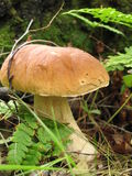 King bolete. A king bolete is desireble find in a forest Royalty Free Stock Image