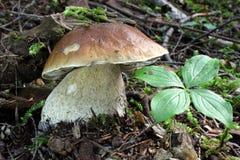 King Bolete Mushroom - Boletus edulis Stock Images