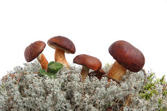 King boletus edulis Stock Photography