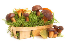 King boletus edulis and chanterelles Stock Image